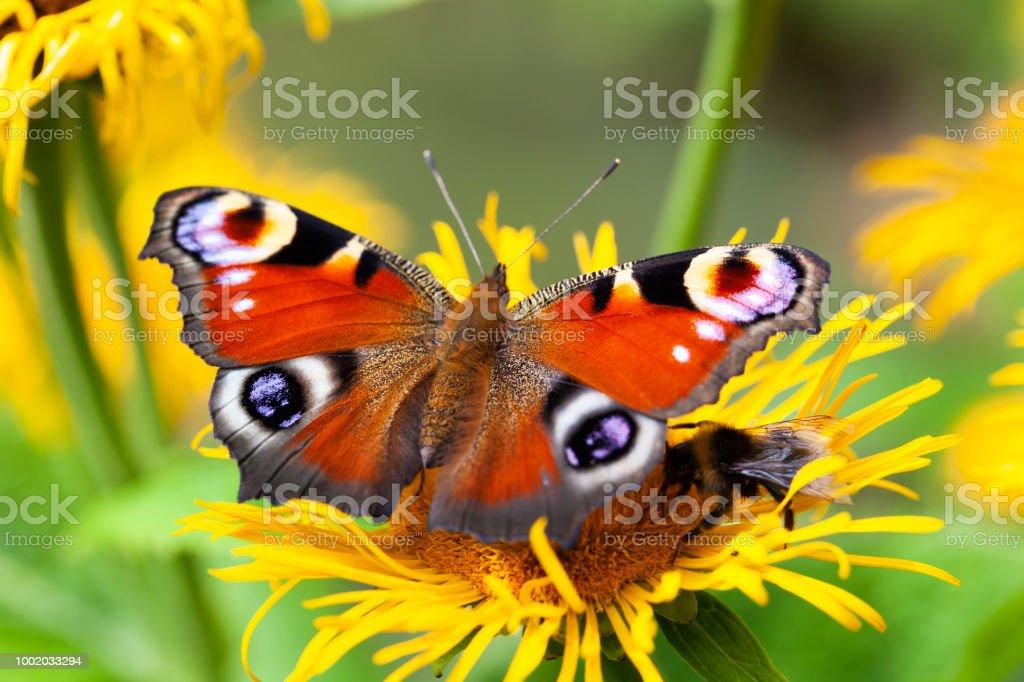 Inachis io of peacock vlinder foto