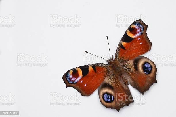 Inachis io peacock butterfly picture id509050333?b=1&k=6&m=509050333&s=612x612&h=e9ydkisne jwatwjfxzok aa5sinmdcahdszohfotqw=