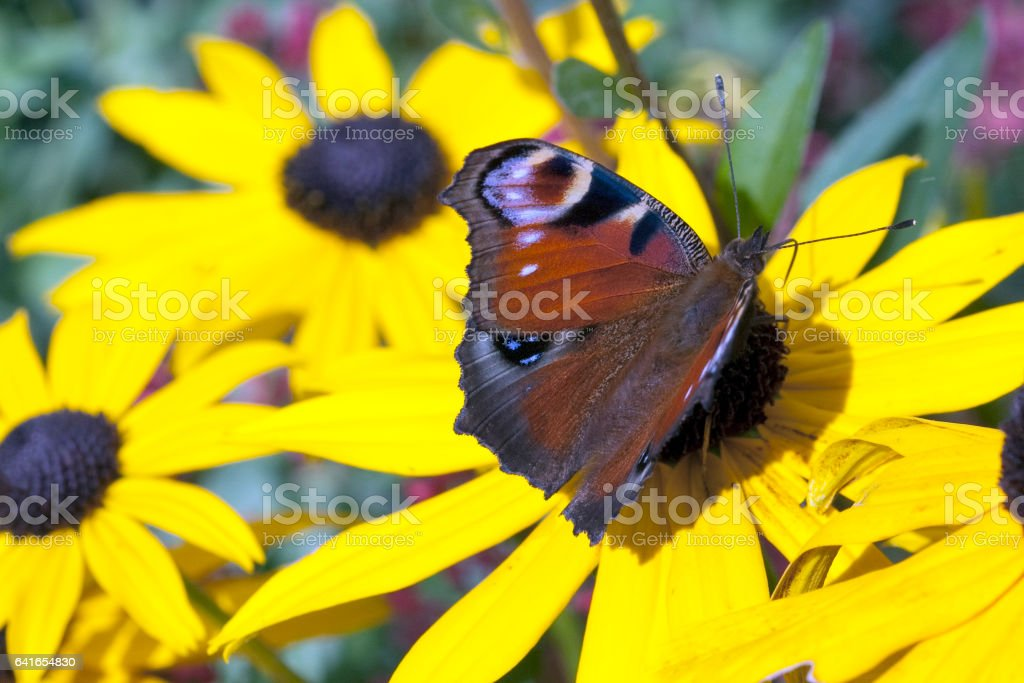 Inachis; io; Peacock; butterfly stock photo