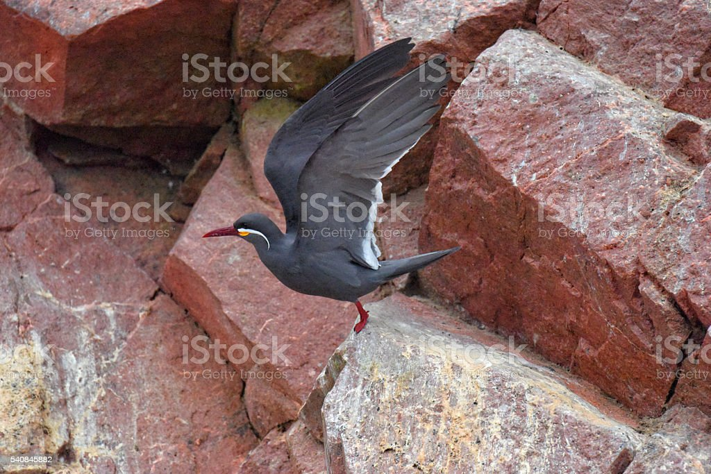 Inca tern stock photo