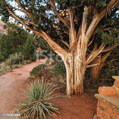 Incense Cedar tree and late afternoon light on Courthouse Rock near Sedona Arizona