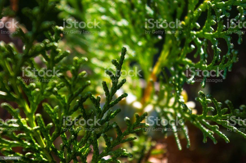 Incense cedar tree Calocedrus decurrens branch close up. Thuja cones...