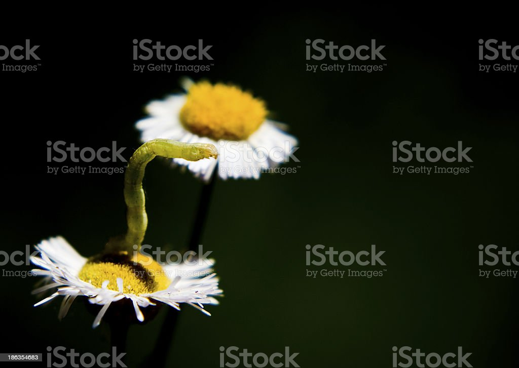 Inch worm on daisy flower stock photo