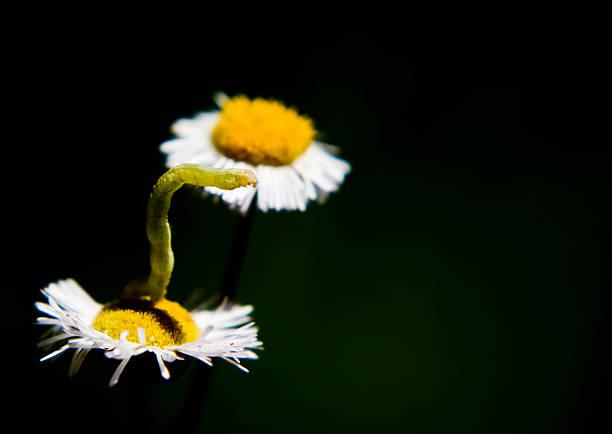 Inch worm on daisy flower stock photo