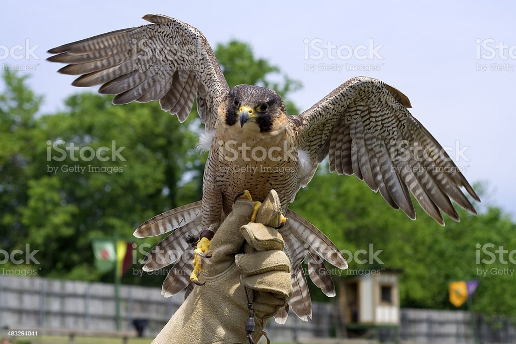 Incoming Falcon stock photo