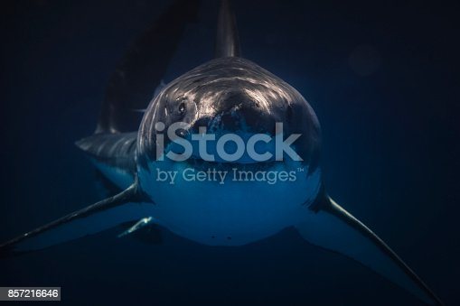 A Great White shark smiles at it approaches the camera dead on