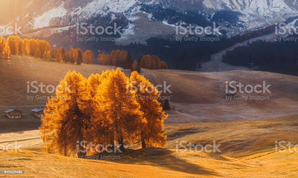 Incredible autumn landscape with yellow larch in Alpe di Siusi in the Dolomites at sunrise stock photo