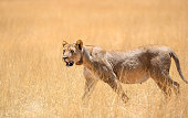 Lion in the namibian savannah