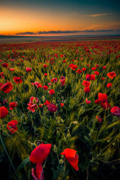 Incredible field of wild poppies between wheat shot at sunrise stock photo