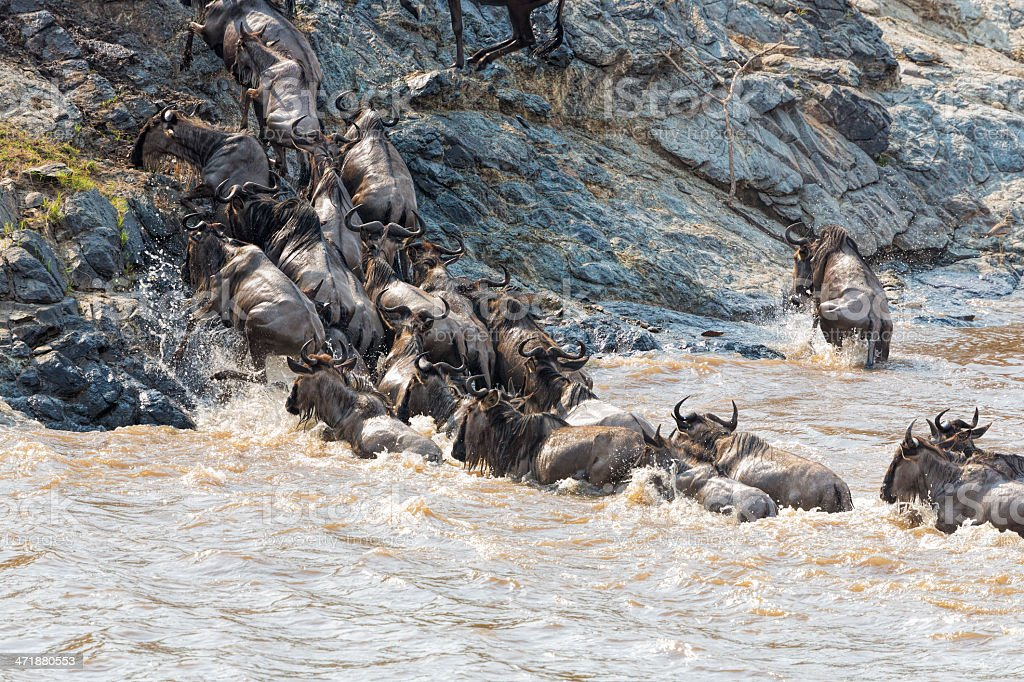 incredible fighting for survival - Great wildebeest migration in Kenya royalty-free stock photo