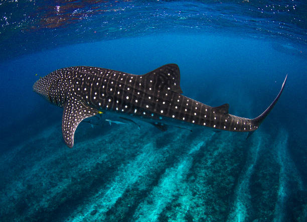 Incredible photo of a Whale Shark in the clearest water imaginable over coral reef at Ningaloo Showing off the whale sharks amazing spot patterns this is a truly beautiful photo taken in crystal blue water whale shark stock pictures, royalty-free photos & images