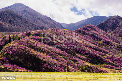 istock incredible view of Altai valley with hills covered with purple flowers of maralnik 957996202