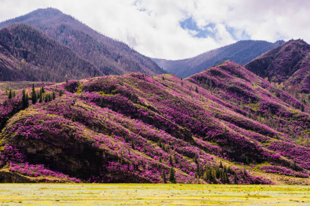 incredible view of altai valley with hills covered with purple flowers of maralnik - сибирь стоковые фото и изображения