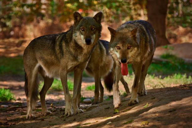 Incredible view of three wolves in a forest. stock photo
