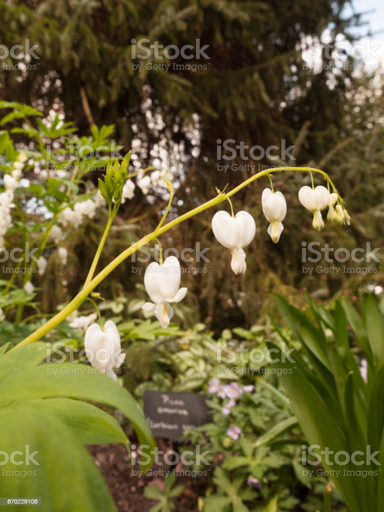 Incredible White And Hanging Bleeding Hearts In The Garden ...
