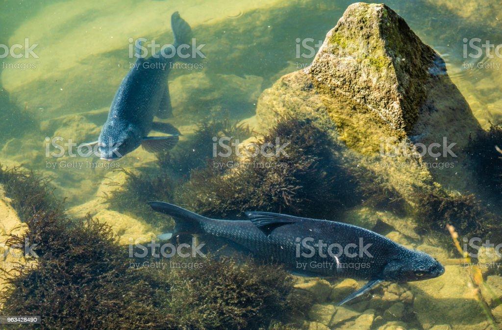Incroyablement atteindre la faune sur l'eaux cristallines des rives du lac Upper Zurich (Obersee) le long de la Holzsteg, entre Hurden (Schwyz) et Rapperswil (Saint-Gall), Suisse - Photo de Activité libre de droits