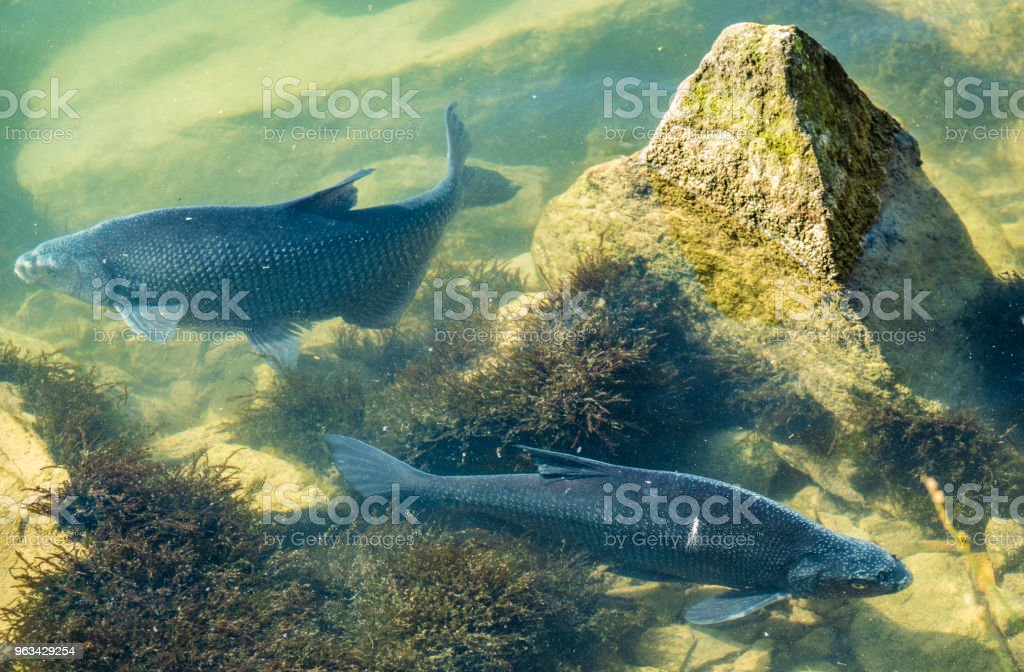 Incredibly reach wildlife on the crystal clear water of the Upper Zurich Lake (Obersee) shores along the Holzsteg, between Hurden (Schwyz) and Rapperswil (Sankt Gallen), Switzerland - Zbiór zdjęć royalty-free (Alpy)