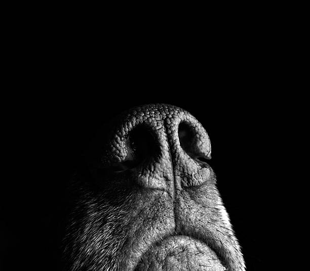 Incredibly sensitive nose of a dog A dog with a keen sense of smell points her nose upward as she gathers information about her surroundings in the studio, where dog treats are always handy. snout stock pictures, royalty-free photos & images
