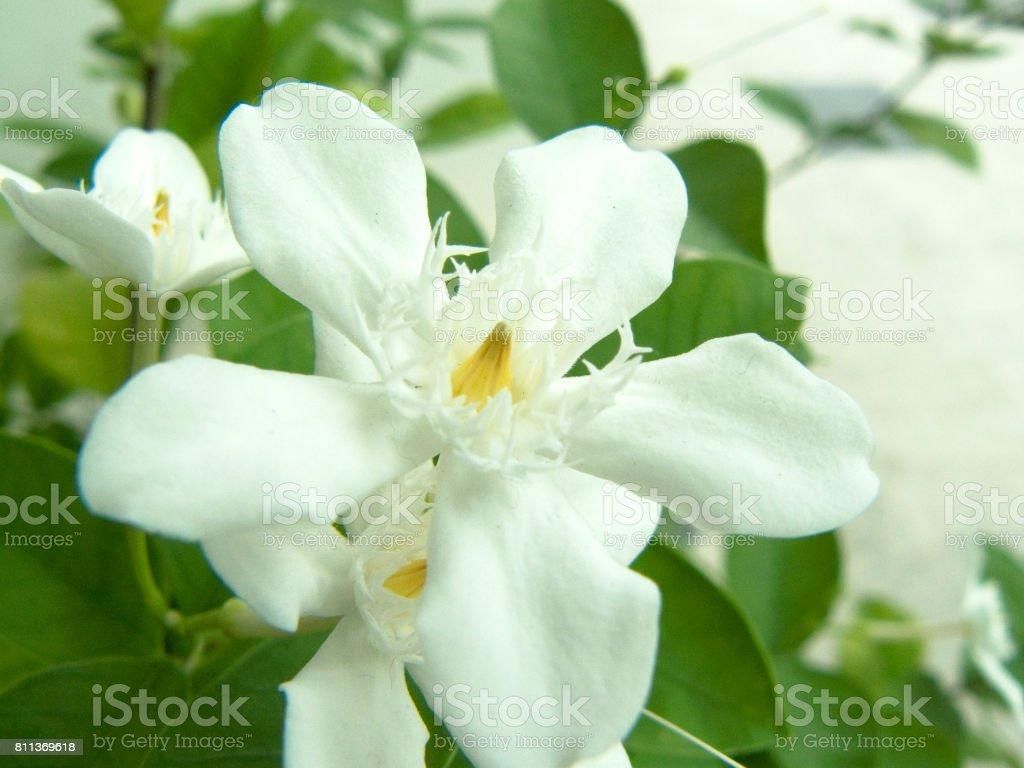 Inda flower stock photo