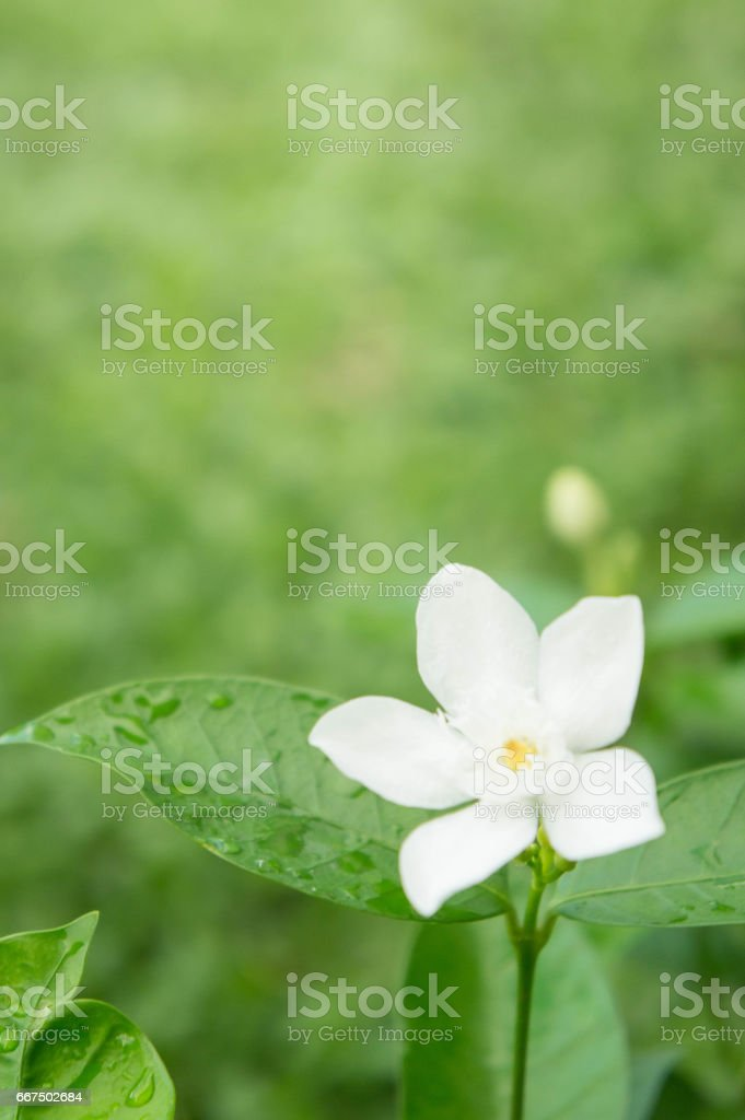 inda flower , Wrightia antidysenterica flowers , white flower in green background foto stock royalty-free