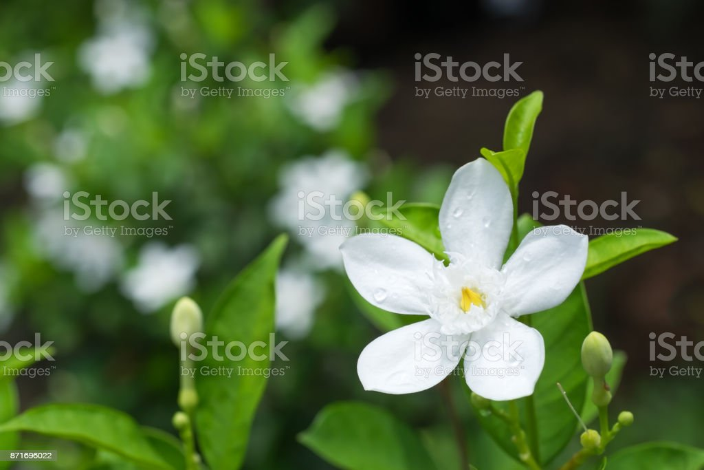 Inda White flower in the garden stock photo