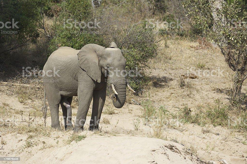Indecente elephant foto de stock libre de derechos
