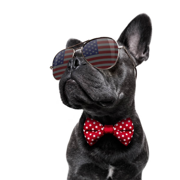 independence day 4th of july dog french bulldog waving a flag of usa and victory or peace fingers on independence day 4th of july with sunglasses military parade stock pictures, royalty-free photos & images