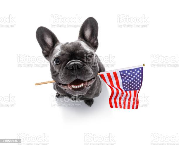 Independence day 4th of july dog picture id1155886576?b=1&k=6&m=1155886576&s=612x612&h=o9py7d00czxfdjgurkmu7hzeomshw4pg byfyoepy04=