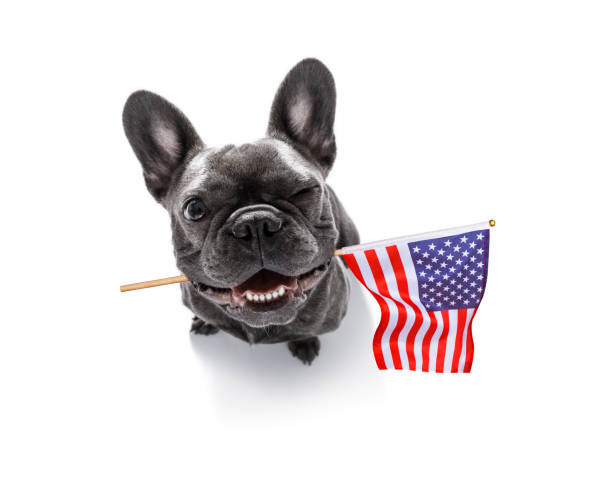 independence day 4th of july dog french bulldog waving a flag of usa and victory or peace fingers on independence day 4th of july with sunglasses happy 4th of july photos stock pictures, royalty-free photos & images