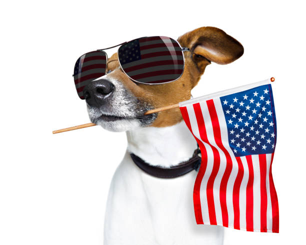 independence day 4th of july dog jack russell dog celebrating  independence day 4th of july with  usa flag in mouth,  isolated on white background military parade stock pictures, royalty-free photos & images