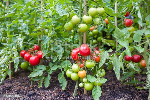 Indeterminate (cordon) tomato vine plants growing outside in an English garden, UK