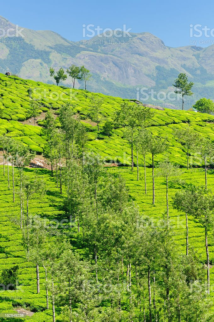 India - Tea plantation royalty-free stock photo
