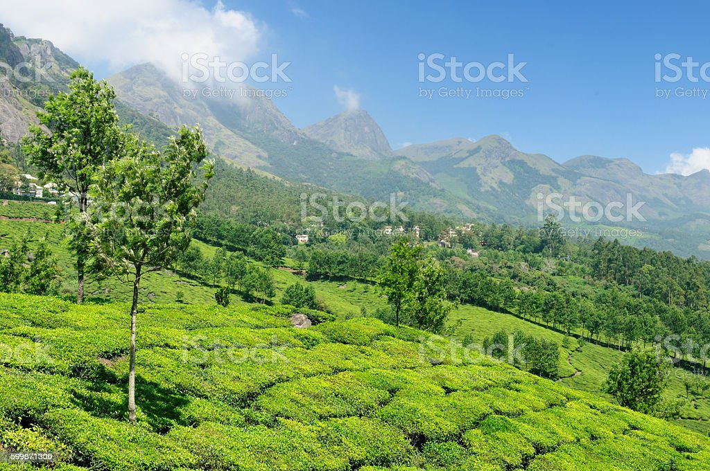 India, Tea plantation stock photo