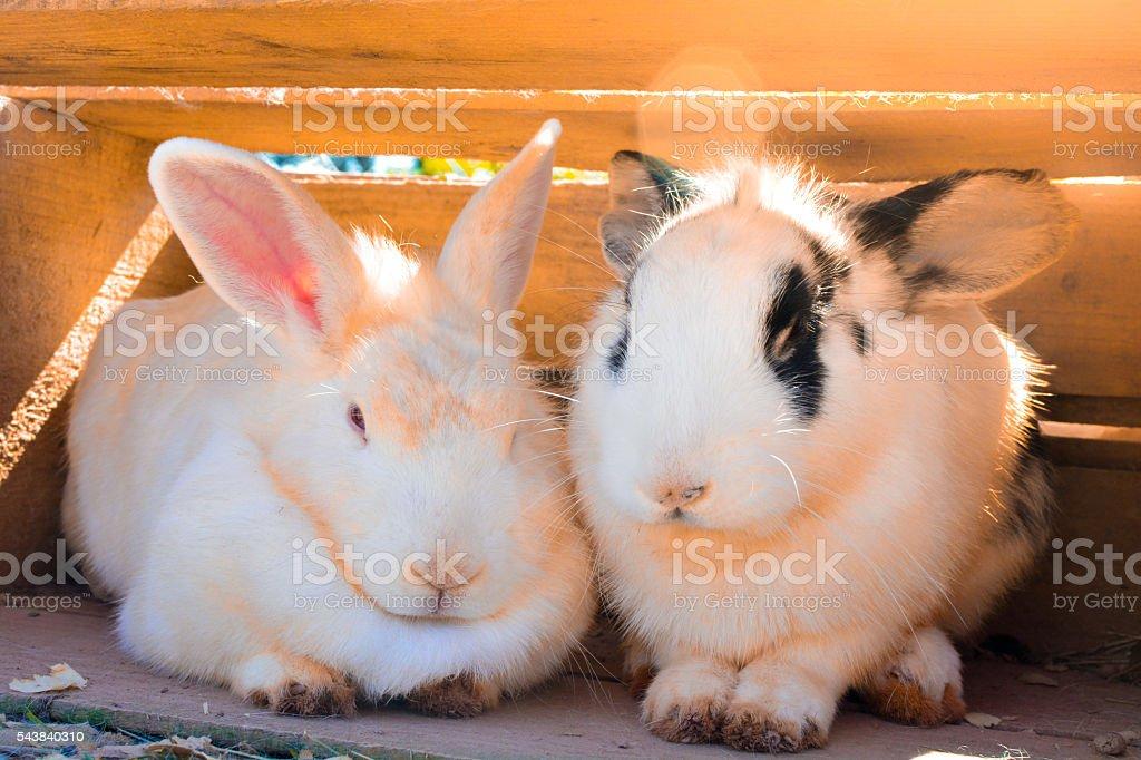 India white pig stock photo