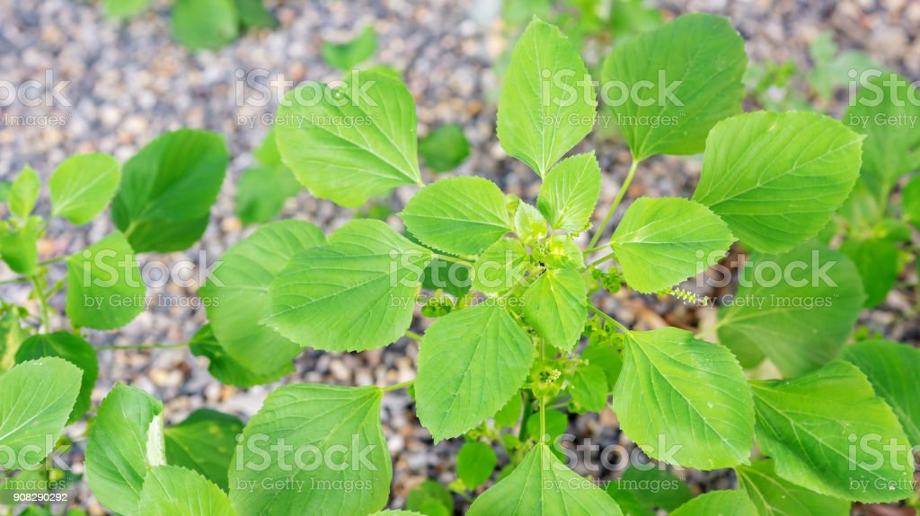 Indian acalypha plant in the garden. stock photo