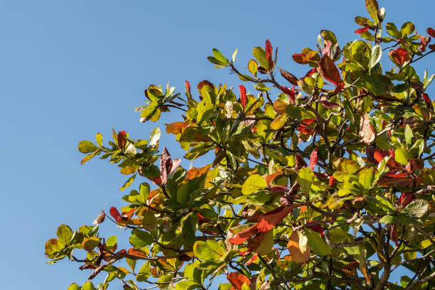 Indian Almond tree against a blue sky with autumn leaves stock photo
