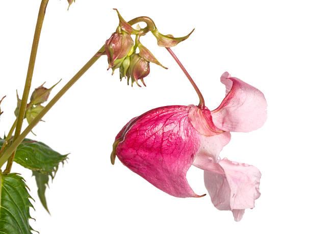 Indian balsam (Impatiens glandulifera) stock photo