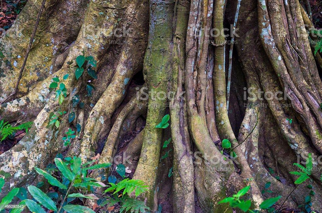 Indian Banyan tree roots stock photo
