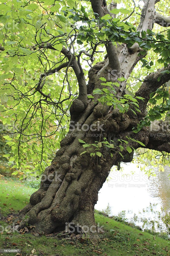 Indian bean tree Catalpa bignonioides stock photo