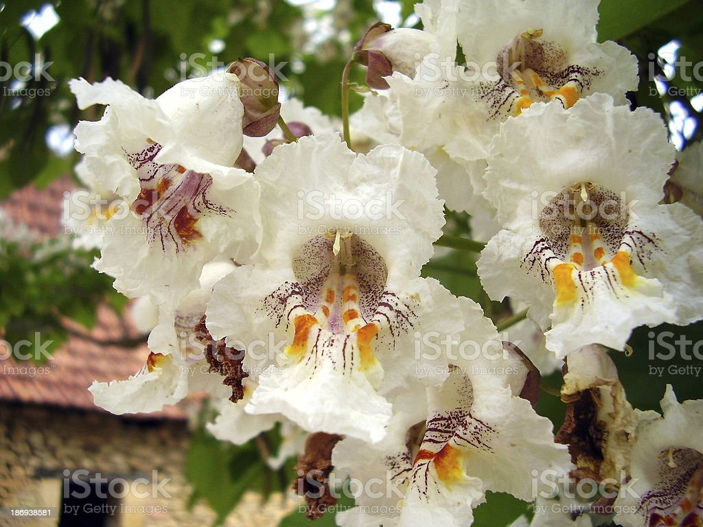 Indian Bean Tree Flowers stock photo