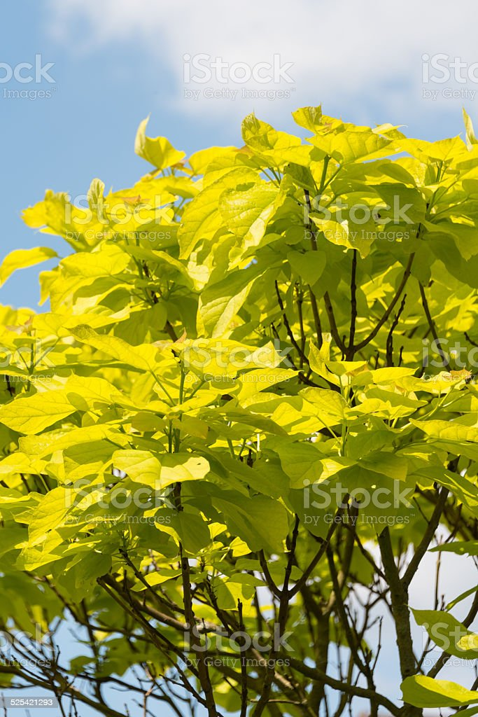 Indian Bean Tree stock photo