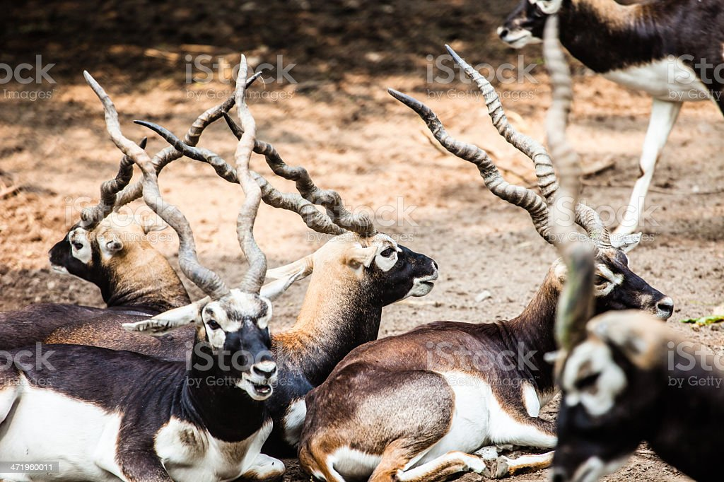 Indian Black Buck Antelope royalty-free stock photo