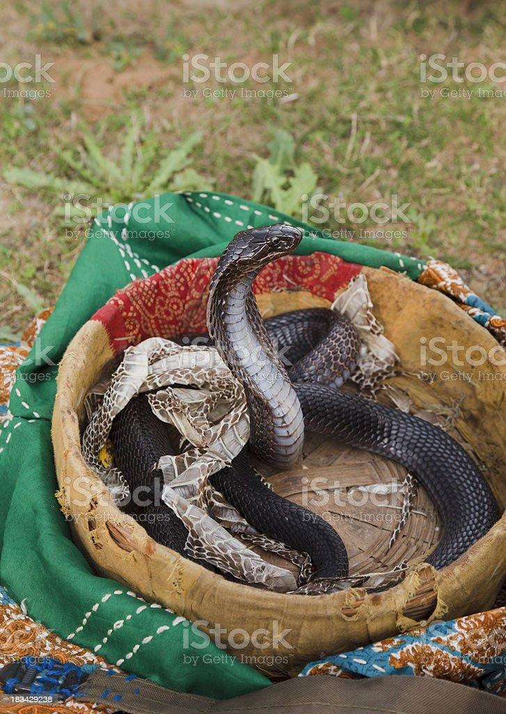 Indian Black Cobra after shedding stock photo