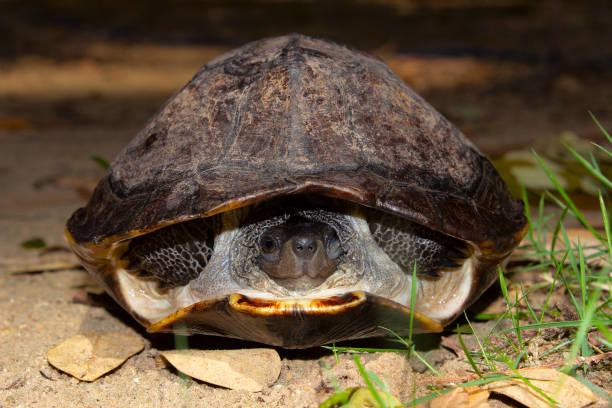 indische schwarze schildkröte, melanochelys trijuga, hampi, karnataka, indien.  mittlere süßwasser schildkröte gefunden in südasien. - shell tattoos stock-fotos und bilder