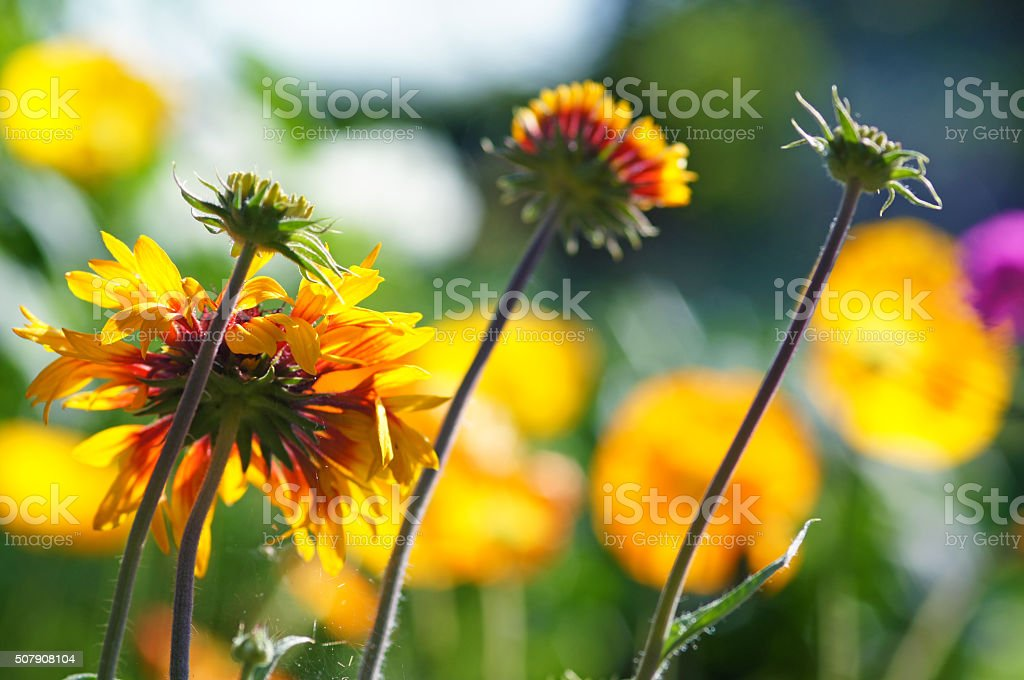 Indian blanket and iceland poppies stock photo