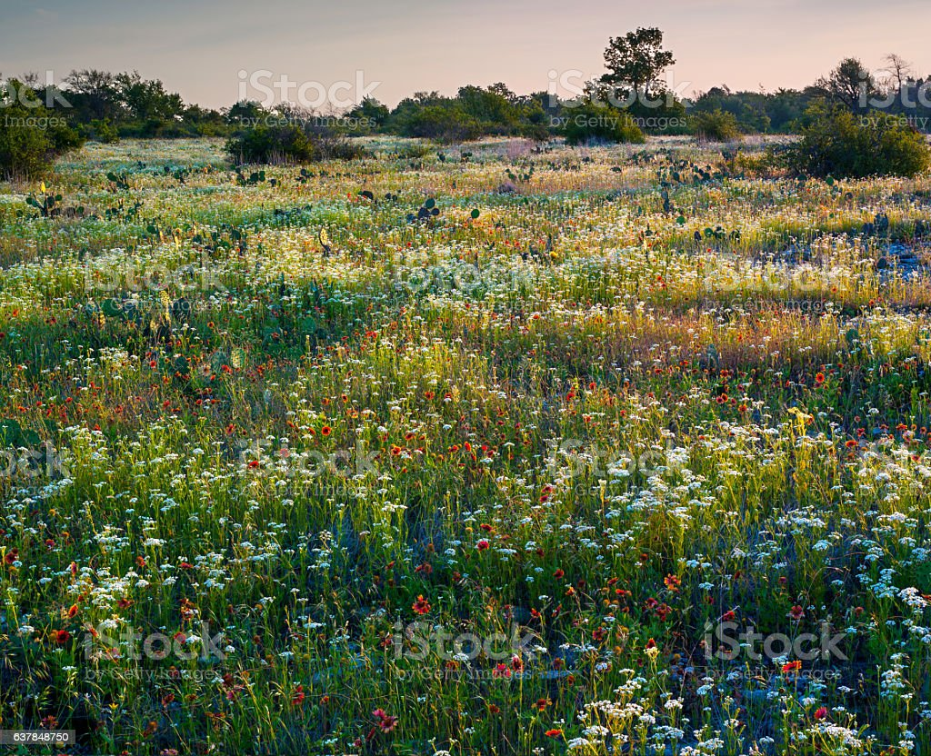 Indian Blanket and Other Wildflowers, Oklahoma stock photo