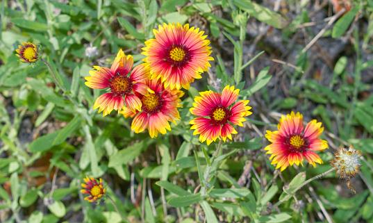 Indian Blanket, Firewheel, Girasol Rojo (Gaillardia pulchella), Florida native flower, yellow ray flowers and reddish- brown central disk flowers, green leaves blurred in background