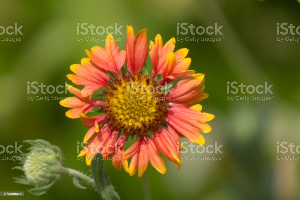 Indian Blanket Flower Centered stock photo