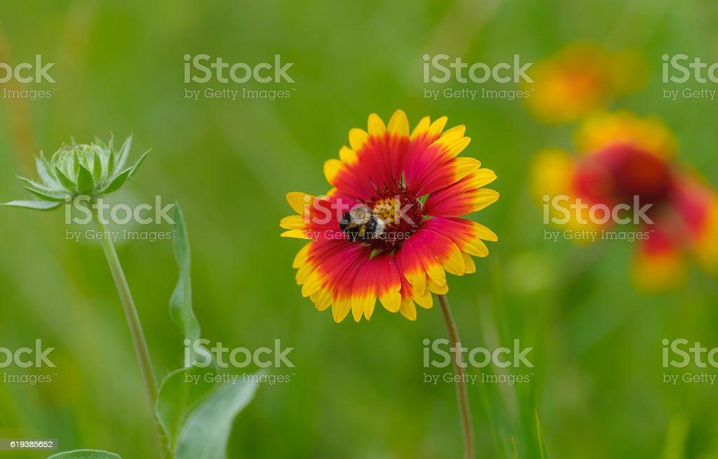 Indian blanket flower having bumblebee guest in the summer garden stock photo