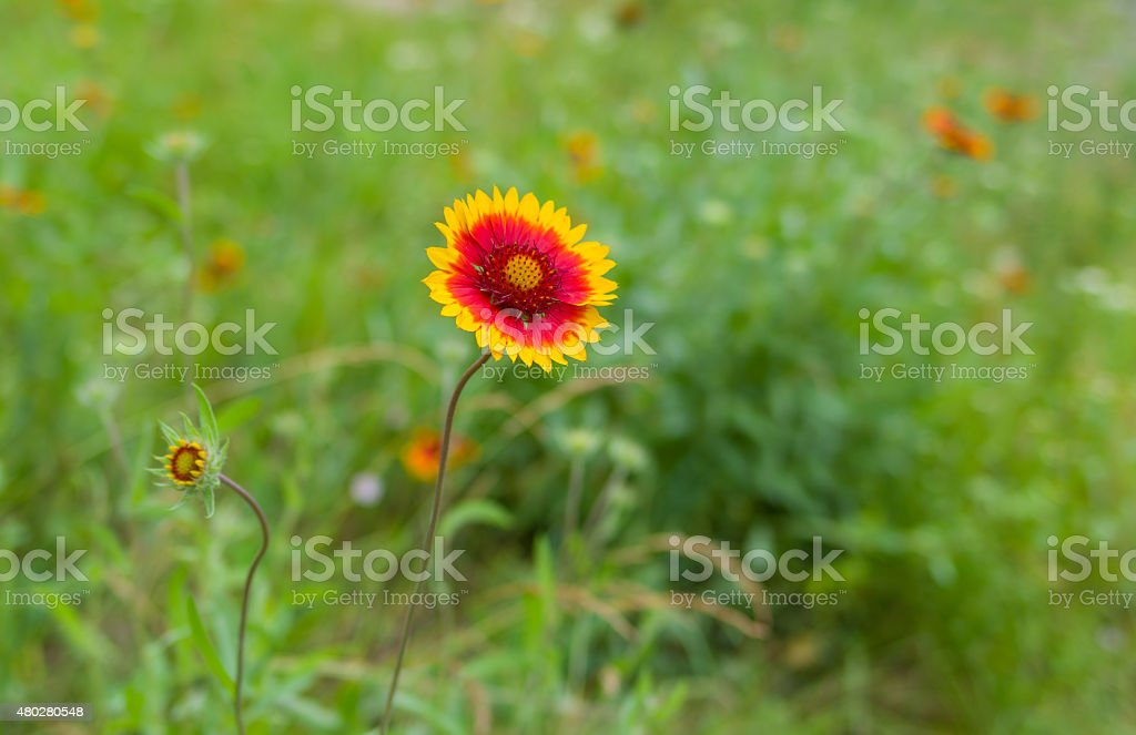 Indian blanket flower in summer garden stock photo